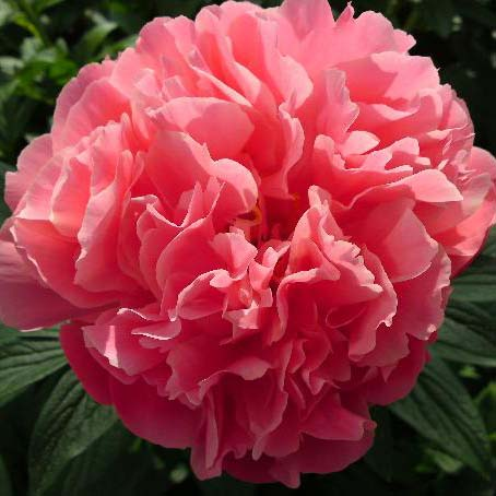 What Is A Peony