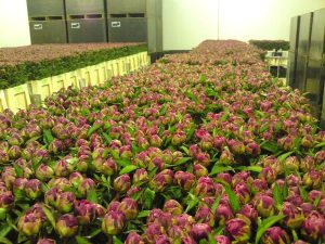 Peony flowers ready for auction