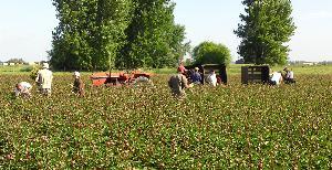 harvesting_peonies