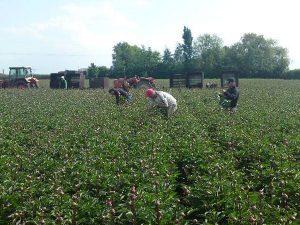 Harvesting peony flowers