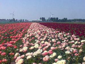 Peony flower field