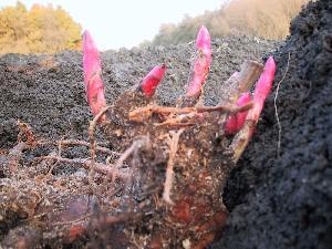 peony_planting