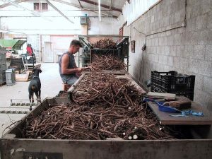 Peony roots production