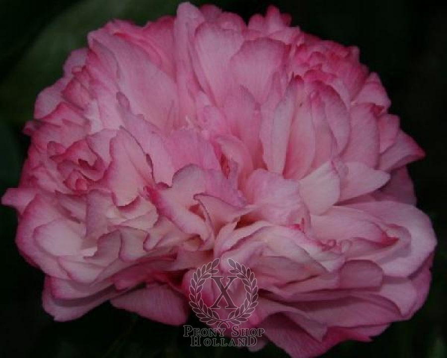 Peony joker at peony nursery peonyshop paeonia joker is an early midseason pink peony hybrid double pink a beautiful dark pink when it first opens the petals are pink with darker pink edges mightylinksfo