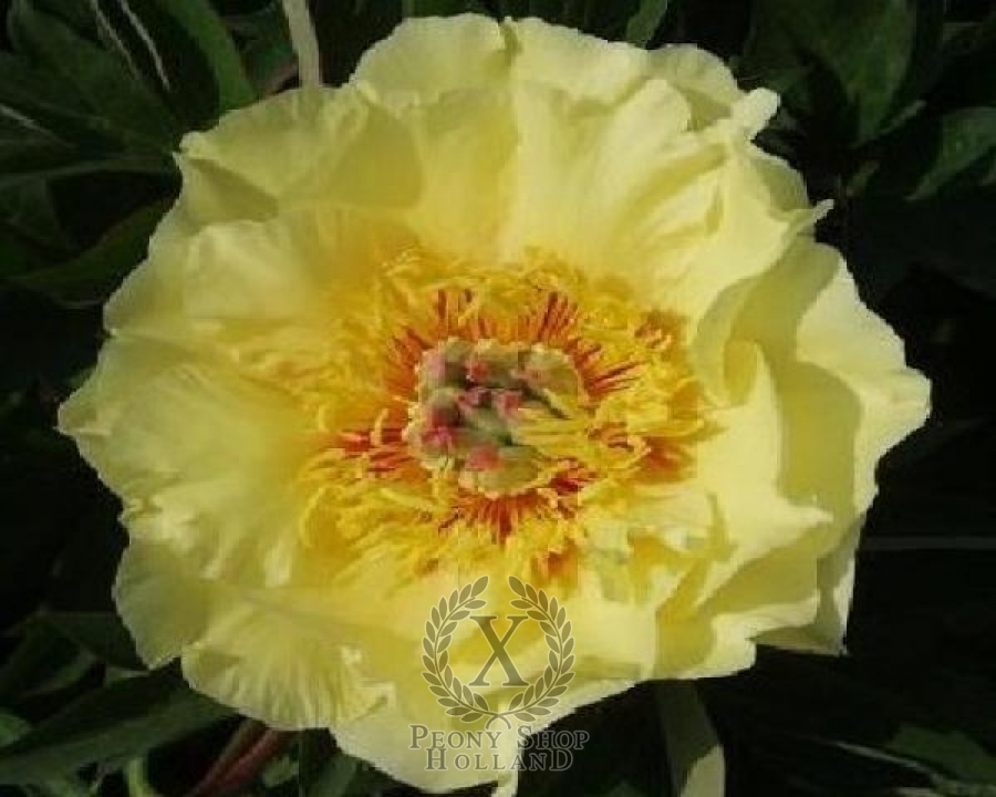 Peony Garden Treasure Itoh Hybrid At Peony Nursery Peonyshop Com